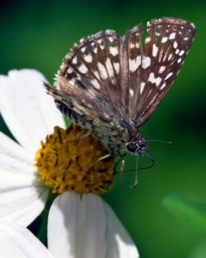 H0X2794_WhiteCheckeredSkipper.jpg