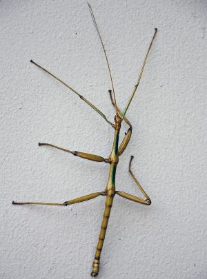H0X194_TexasWalkingStick.jpg