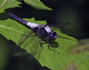 2104_SwiftLong-wingedSkimmer.jpg