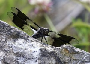 H0X1356_CommonWhitetailDragonfly.jpg